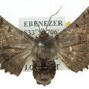 Image of <i>Hypographa phlegetonaria</i> Guenée 1857