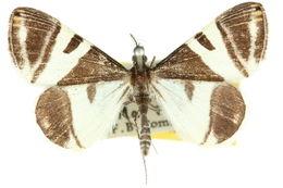 Image of <i>Phrataria bijugata</i>