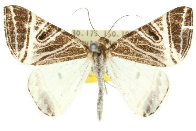 Image of <i>Phrataria replicataria</i> Walker 1866