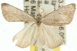 Image of <i>Adeixis inostentata</i> Walker 1861