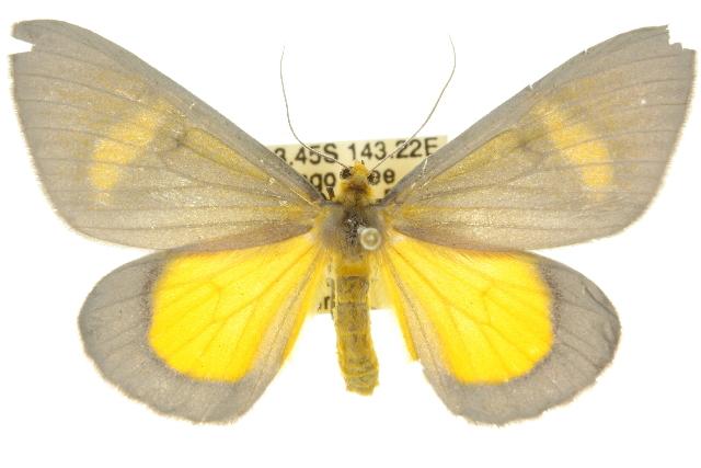 Image of <i>Celerena griseofusa</i> Warren 1896
