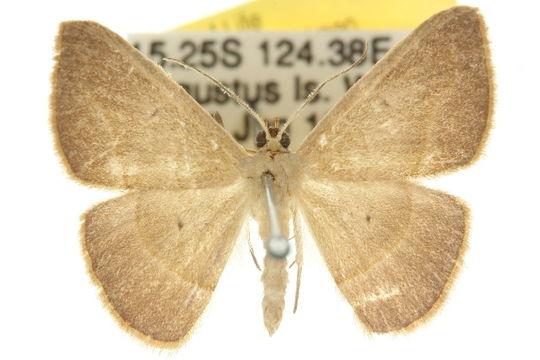 Image of <i>Zeuctophlebia</i>