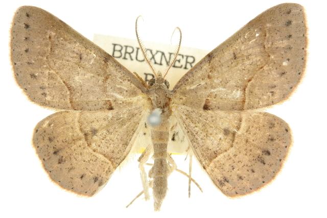 Image of <i>Encryphia frontisignata</i> Walker 1863