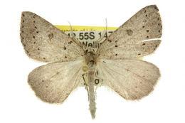 Image of <i>Amelora sparsularia</i> Guenée 1858