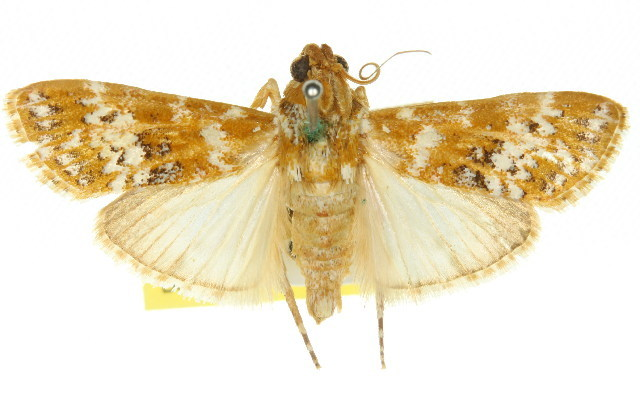Image of <i>Lacalma albirufalis</i> Hampson 1916