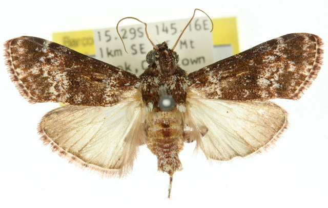Image of <i>Lacalma ferrealis</i>