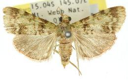 Image of <i>Stericta prasina</i> Warren 1895