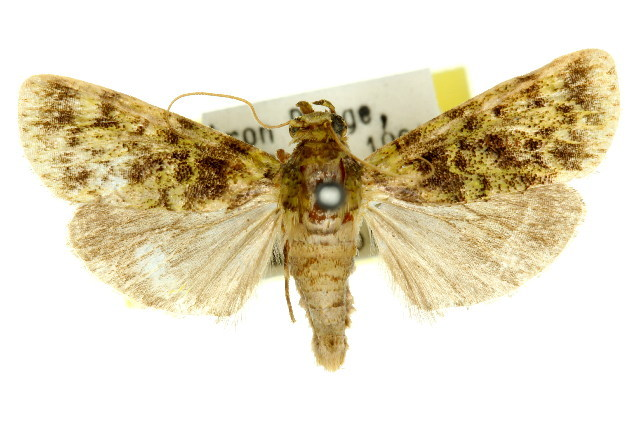 Image of <i>Stericta philobrya</i> Turner 1937