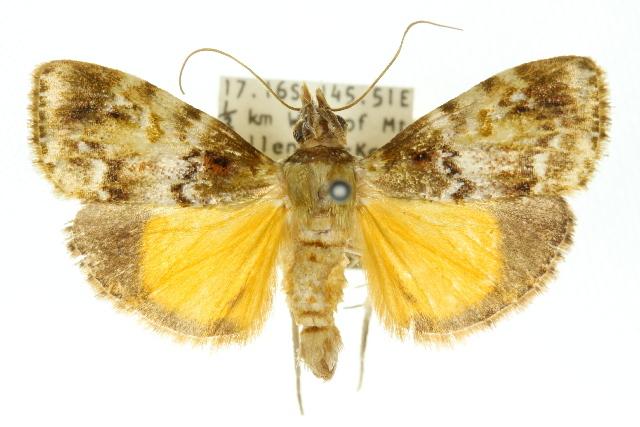 Image of <i>Stericta</i>