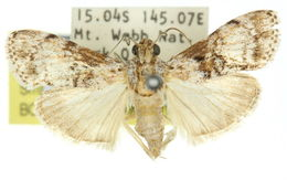 Image of <i>Stericta loxophaea</i>