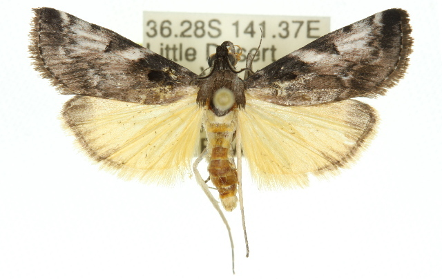Image of Astrapometis
