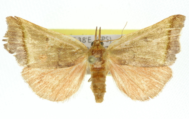 Image of <i>Macna oppositalis</i> Walker (1866)