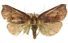 Image of <i>Macna coelocrossa</i> Turner 1911