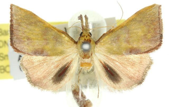 Image of <i>Tanaobela chrysochlora</i> Turner 1915
