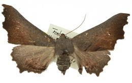 Image of <i>Amphiclasta lygaea</i> Turner 1906