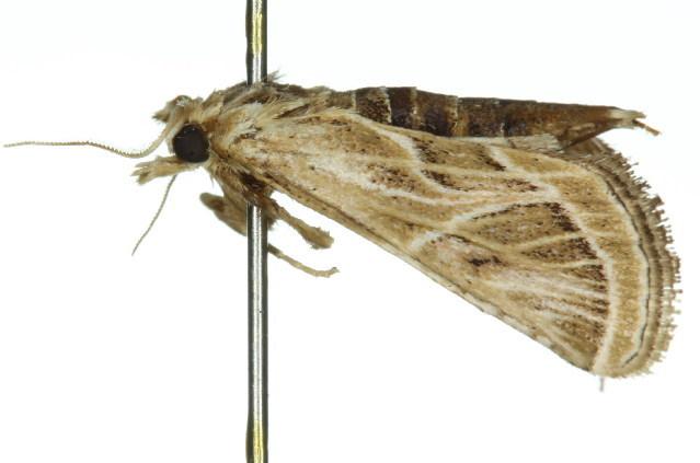 Image of <i>Loryma recusata</i> Walker 1863