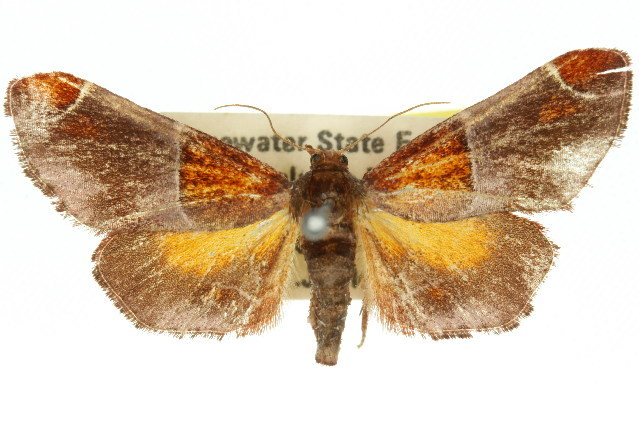 Image of <i>Amphiderita pyrospila</i> Turner 1925