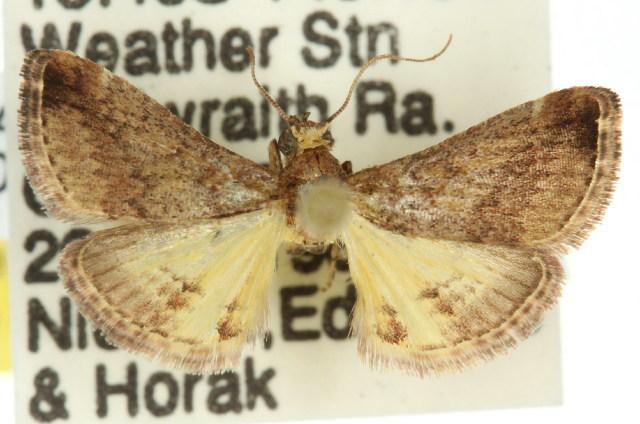 Image of <i>Gauna flavibasalis</i>