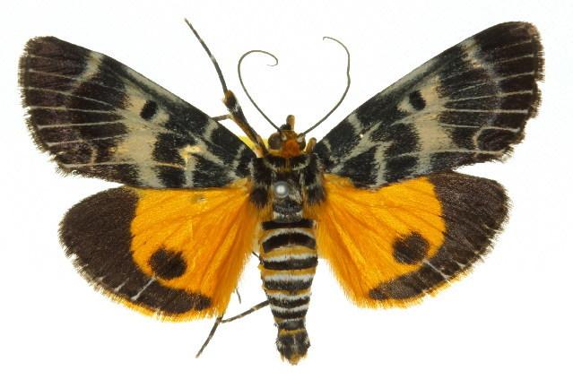 Image of <i>Cardamyla carinentalis</i> Walker 1859