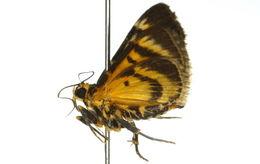 Image of <i>Cardamyla hercophora</i> Meyrick 1884