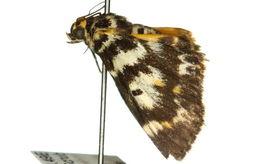 Image of <i>Cardamyla eurycroca</i> Turner 1937