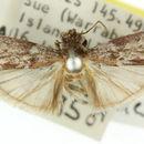 Image of <i>Indomyrlaea auchmodes</i>