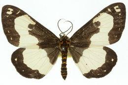 Image of <i>Abraxas flavimacula</i> Warren 1896