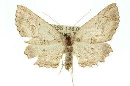 Image of <i>Cleora nesiotis</i> Turner 1925