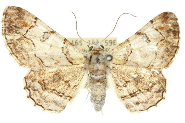 Image of <i>Cleora perlepidaria</i> Warren 1900
