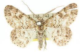 Image of <i>Cleora decisaria</i> Walker 1866