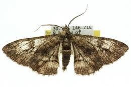 Image of <i>Cleora foldfinchi</i>