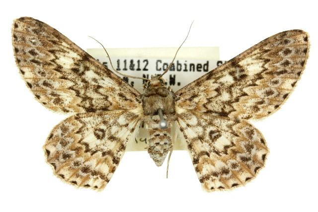 Image of <i>Cleora sabulata</i> Fletcher 1953