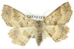 Image of <i>Protophyta castanea</i> Lower 1896