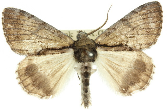 Image of <i>Sterictopsis argyraspis</i> Lower 1893