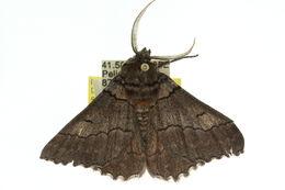 Image of <i>Hypobapta percomptaria</i> Guenée 1857