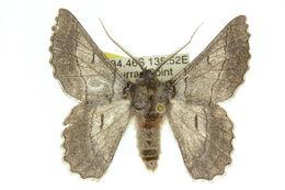 Image of <i>Hypobapta</i>
