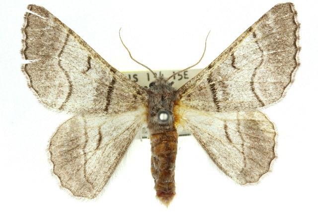 Image of <i>Hypobapta diffundens</i> Lucas 1891