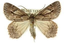 Image of <i>Crypsiphona melanosema</i> Meyrick 1888