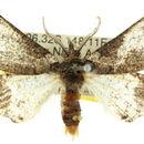 Image of <i>Anomogenes morphnopa</i> Turner 1932