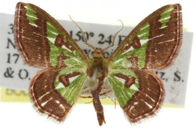 Image of <i>Hemichloreis exoterica</i> Meyrick 1888