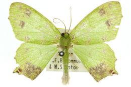 Image of <i>Agathia ochrotypa</i> Turner 1922
