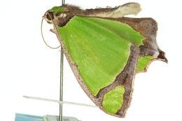 Image of <i>Agathia prasinaspis</i> Meyrick 1889