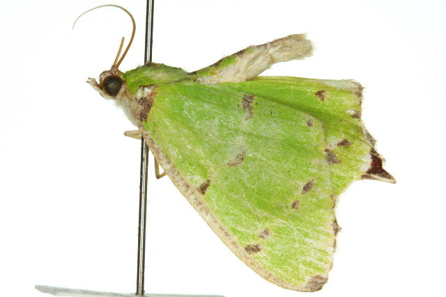 Image of <i>Agathia distributa</i> Lucas 1891