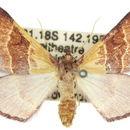 Image of <i>Xenochlaena porphyropa</i> Lower 1898