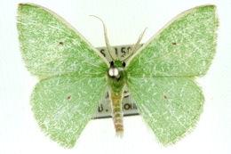 Image of <i>Argyrocosma argosticta</i> Turner 1904