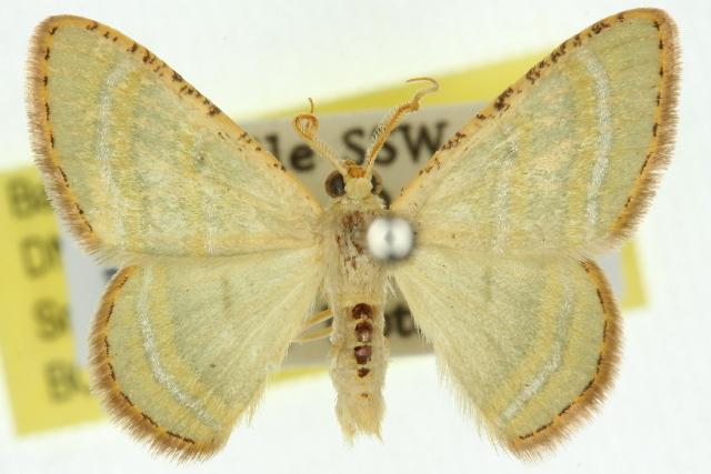 Image of <i>Metallothea eucrostes</i> Prout 1916