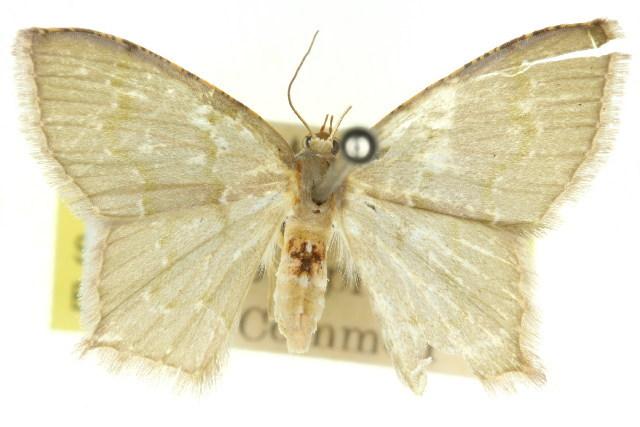Image of <i>Hemithea pellucidula</i> Turner 1906