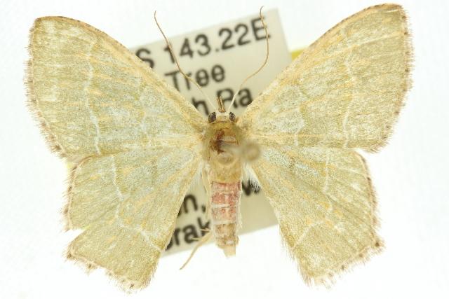 Image of <i>Hemithea doddi</i> Prout 1933