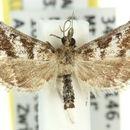 Image of <i>Criophthona haliaphra</i> Meyrick 1884