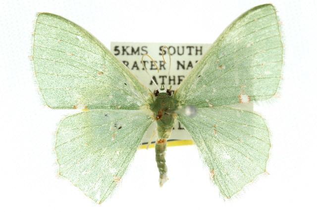 Image of <i>Prasinocyma iosticta</i> Meyrick 1888